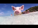 6 Reasons You Need to Visit Pig Island - POPSUGAR Travel