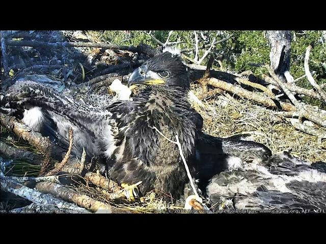 AEF NEFL Eagle Cam 1-19-18 Im a Big Kid Now