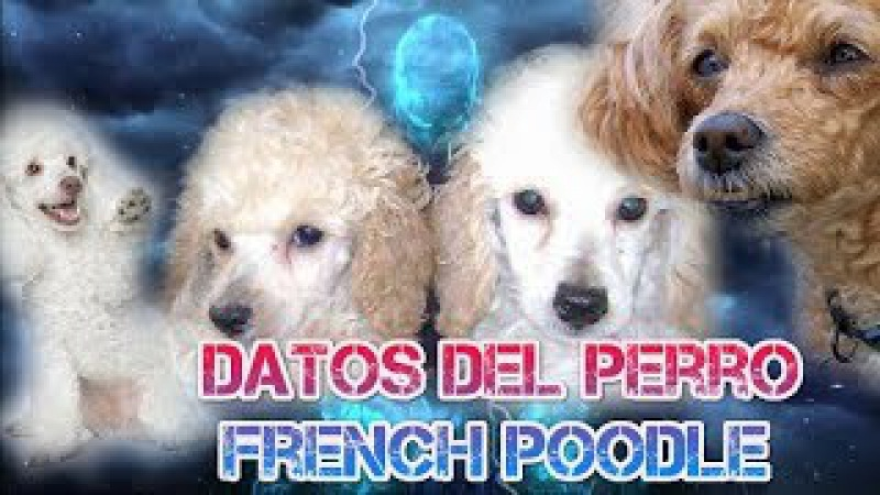 Datos del perro french poodle