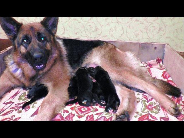 Родились щенки Немецкой овчарки от Юмиры и Дагира. Puppies German Shepherd 3 days.