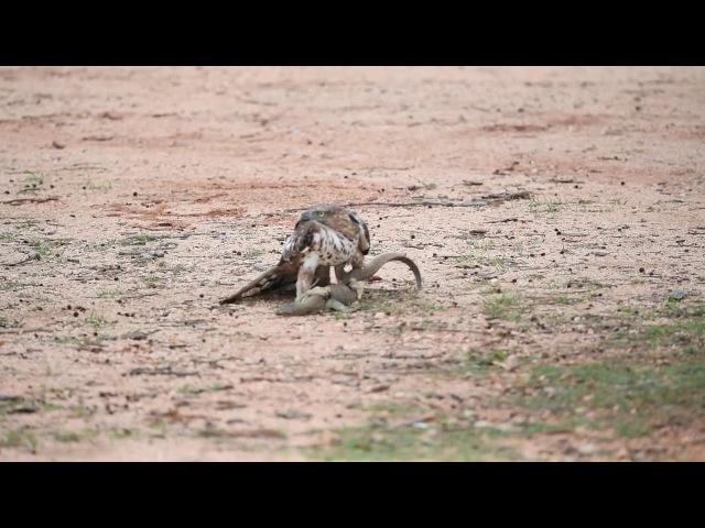 Изменчивый хохлатый орёл vs варан (Crested Hawk Eagle with it's prey thalagoya at Lunugamwehera National Park)