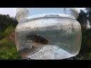Получение потомства сома обыкновенного Инкубация икры и подращивание