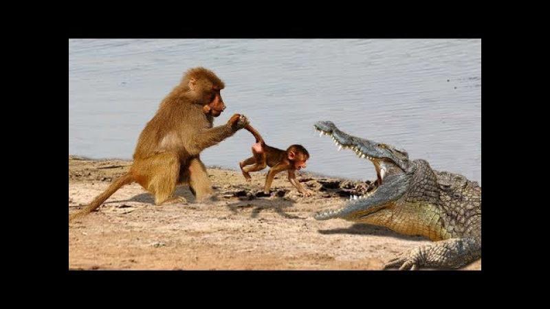 Đang chơi đùa với mẹ bất ngờ bị hà bá bắt đi sự phẫn nộ của khỉ mẹ - Crocodile vs baboon vs leopard