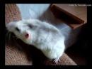 Почему крыса кусается? Особенности укуса крысы. Сравнение укуса крысы и песчанки.