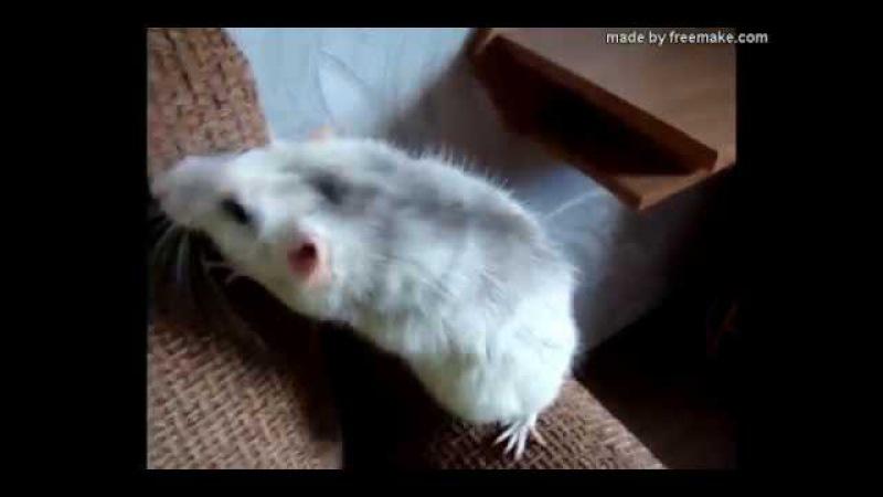 Почему крыса кусается Особенности укуса крысы. Сравнение укуса крысы и песчанки.