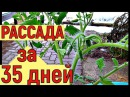 Выращивание рассады помидоров до ЦВЕТОЧНОЙ КИСТИ за 35 дней