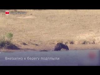 Бегемоты спасли антилопу гну от крокодила