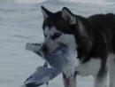 """Клип к фильму """"Белый плен"""" о жизни Хаски на Севере"""