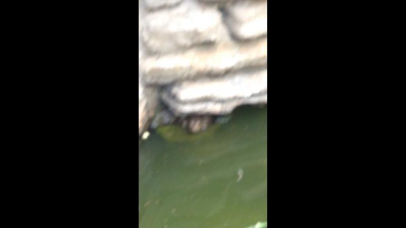 Агромная жаба