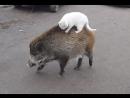 Кабан и Кот