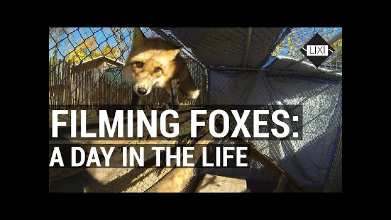 Filming Foxes! A day in the life of a filmmaker