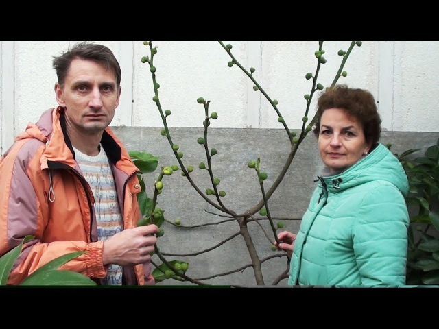 Как вырастить инжир дома Домашняя оранжерея