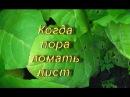 ДНЕВНИК ТАБАКОВОДА № 18 30 06 Ломка листа табака