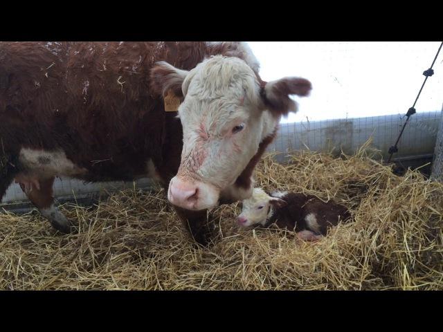 Родильное отделение для коров в теплице