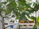 Сумчанин вирощує цитрусовий сад у себе вдома