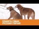 Русская гончая Планета собак 🌏 Моя Планета