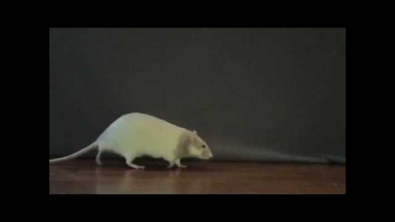 Adult Rat Walk Cycle Slow Motion Video Animation Reference