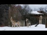 Стая волков в заброшенной деревне. Вой!