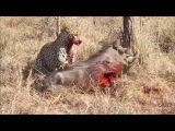 LEOPAR DOMUZU canlı canlı Yiyor ( leopard pig hunt)