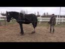 Учим лошадь осаживать на вожжах