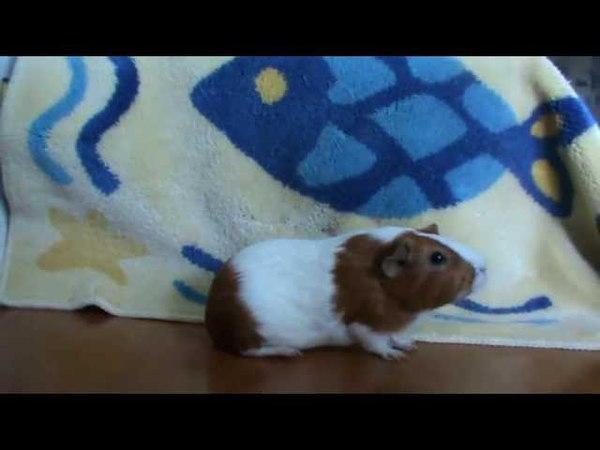 Морская свинка-артистка (guinea pig-star)
