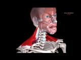 10 фактов про трапецию и мышцы шеи. Биомеханика