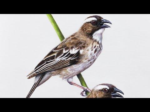 Рисунок пастелью Ткачиковые воробьи / Pastel speed drawing White-browed Sparrow-weaver