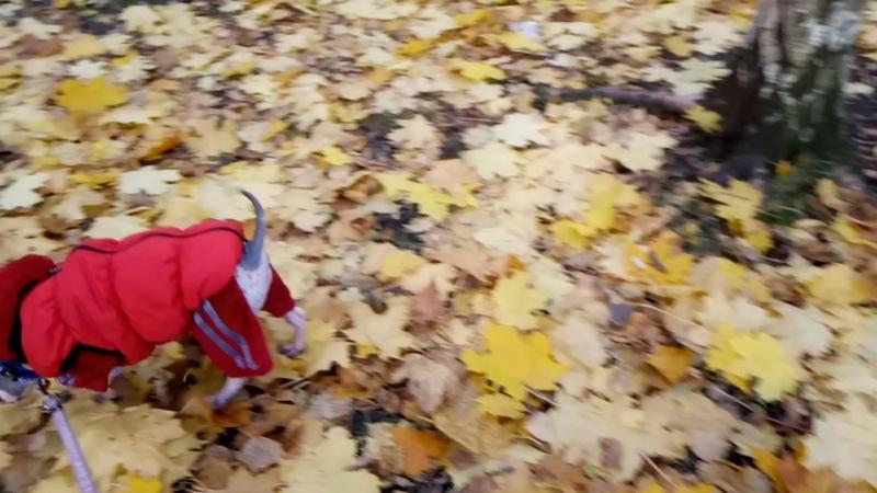 Уиллис (Лисик) американский голый терьер щенок 3 месяца