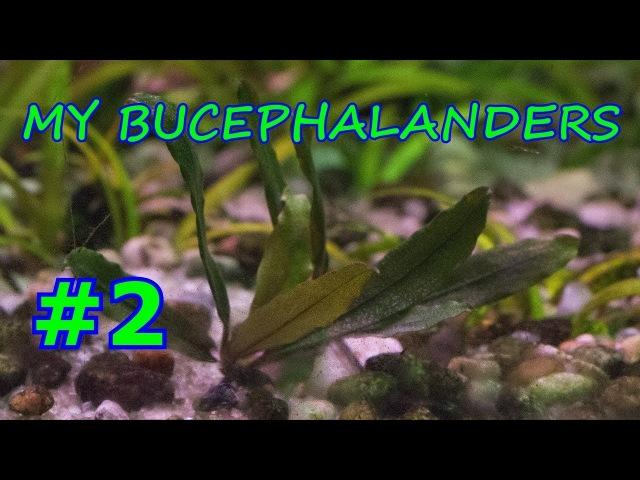 МОИ БУЦЕФАЛАНДРЫ 2 MY BUCEPHALANDERS 2