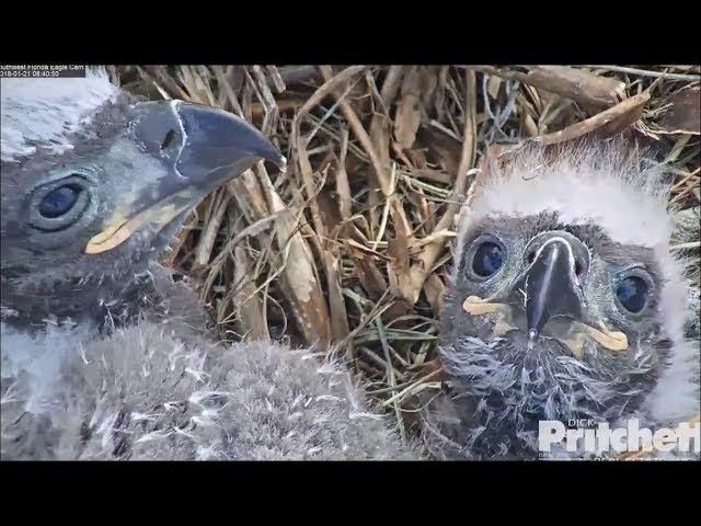 SWFL Eagles ~ E10 E11 Cute Babies ~ 25 Days Old 1.21.18