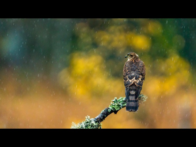 Sparrow Hawk vs. Eurasian Jay 4k Slowmotion