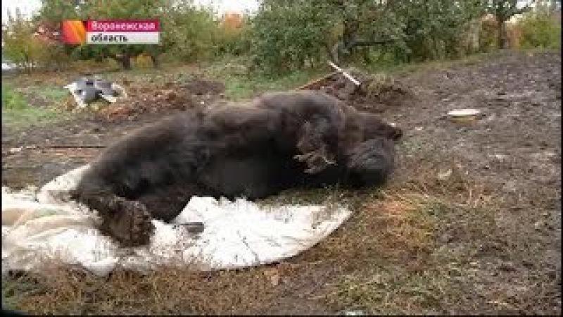 сбежавший медведь убил 87 летнего инвалида войны, но и сам был убит 9 пулями из пол...