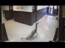 Случай в Миссисипи скользящий по школьному коридору олень попал на видео