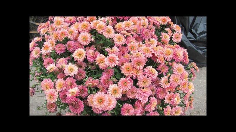 Хризантемы из магазина Как сохранить зимой