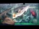 Краснохвостый сом vs панцирник-аллигатор
