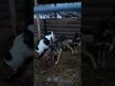 Собаки из приюта Счастливый друг в Путилково г. Красногорск