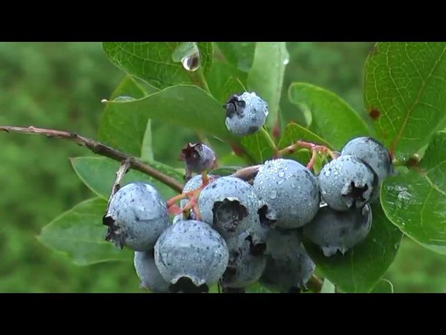 О выращивании голубики и о нашей плантации
