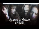 Remus Sirius   ANIMAL