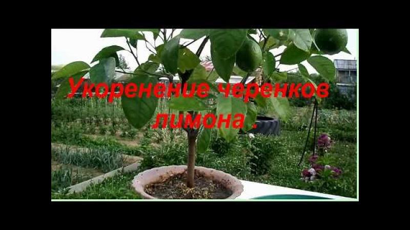 Восточный Казахстан Укоренение черенков лимона