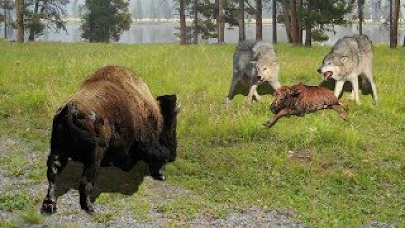 Baby Bison Takes On Wolf And Wait Mother To Save Animals In North America