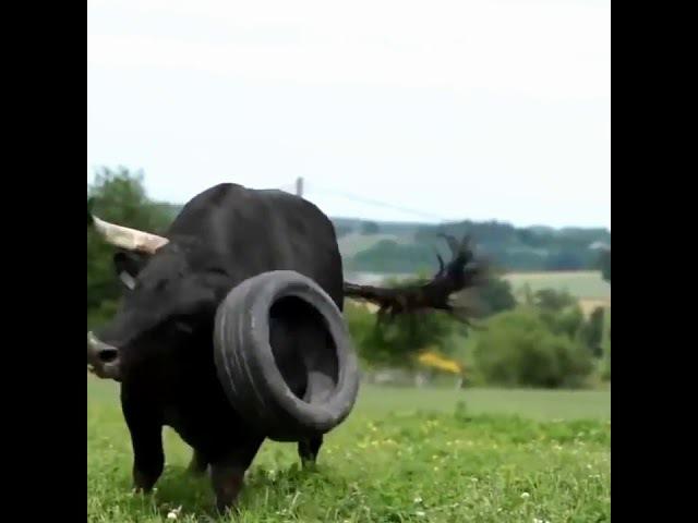 У кого-то собака а у меня бык
