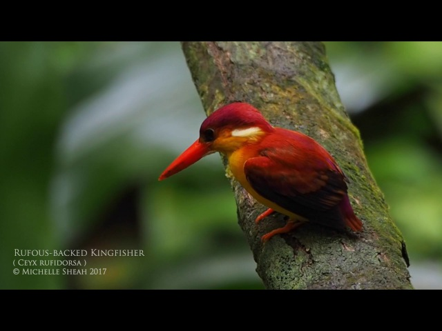 Rufous-backed Kingfisher / Малайский лесной зимородок / Ceyx rufidorsa