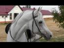 Где живет конь Путина чистокровный арабский жеребец Сирдар Лошади Путина Arabian horse