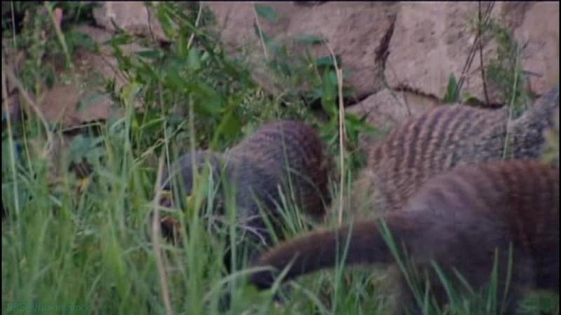 BBC «Полосатые братья: Банда мангустов» (2 серия) (Документальный, природа, животные, 2009)