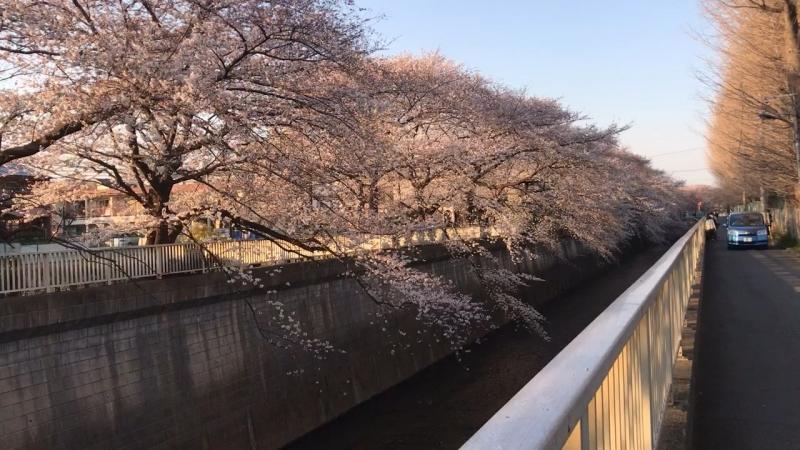 Sakura along a river