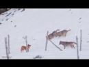 Волки против собаки