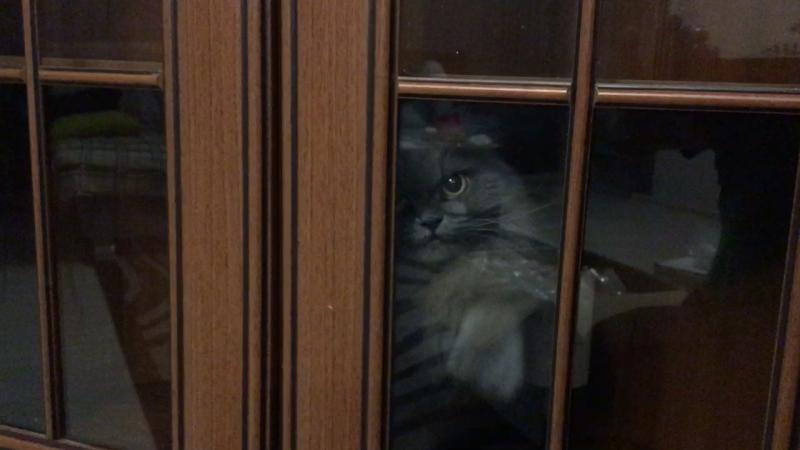 Кошка моет шкаф