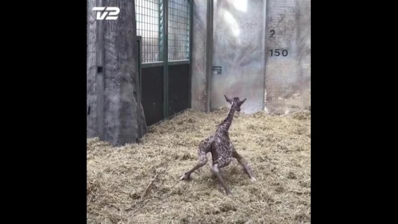 новорождённый жираф -1.mp4
