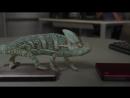 Забавный хамелеон меняет цвет - видео прикол
