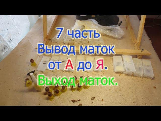 7 часть Вывод маток от А до Я Выход маток из маточников, мечение и посадка в клет ...
